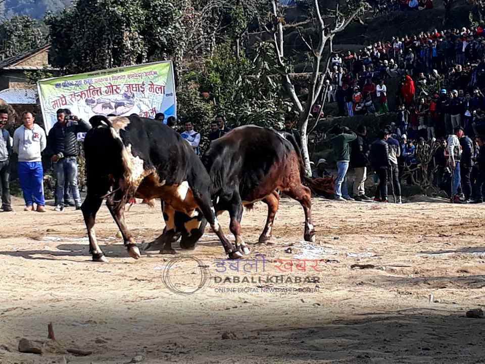 bull fight nuwakot nepal