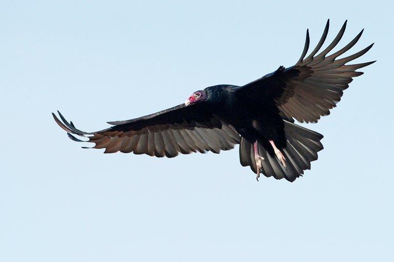 Vulture Nepal