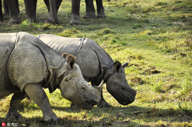 Nepal to send two pairs of rhinos to China as gifts