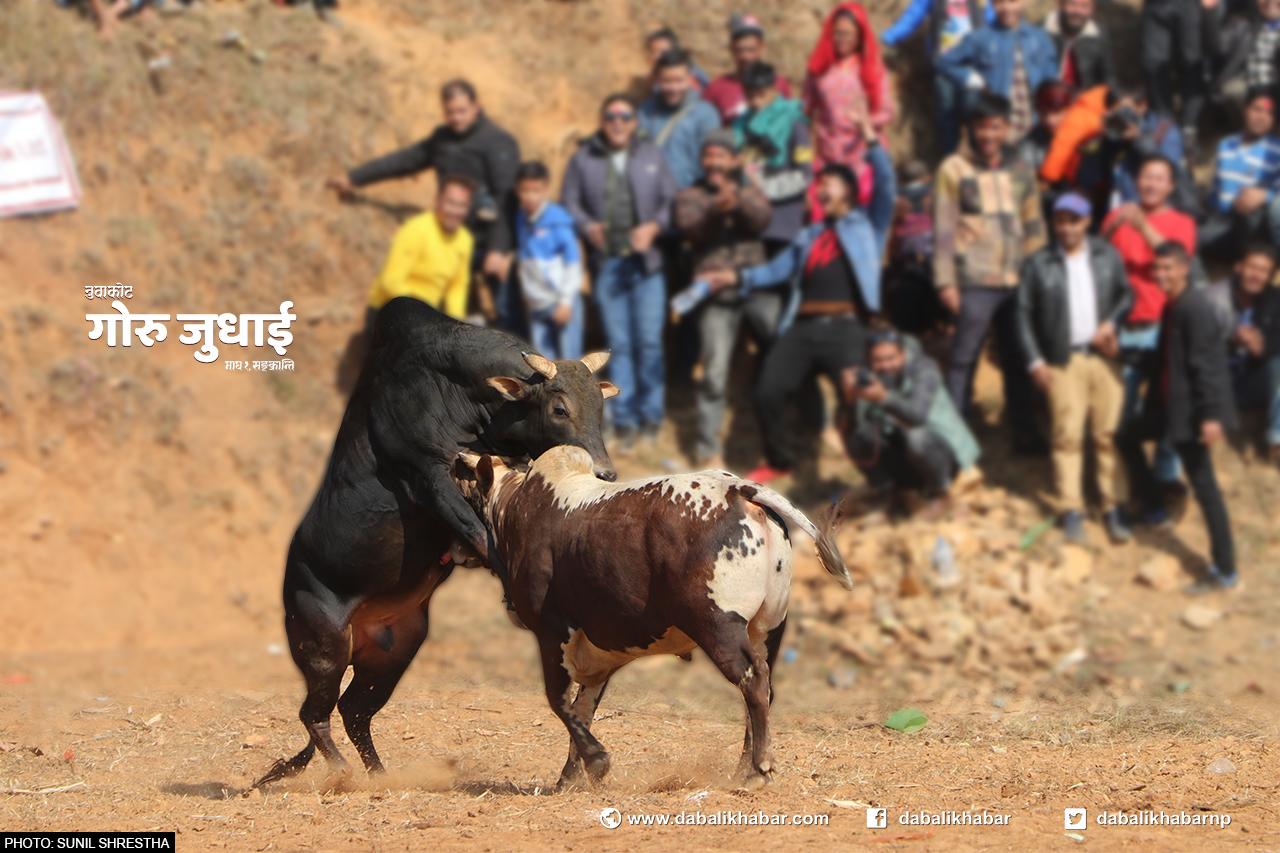 Ox Fight in Taruka Nuwakot