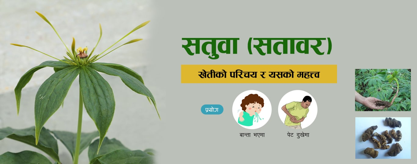 satuwa satuwar paris polyphylla uses herb nepal-min